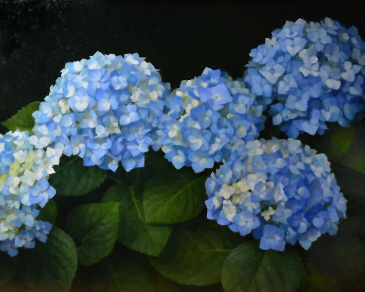Blue Hydrangeas, oil on linen, 16 x 20 inches, $2,500