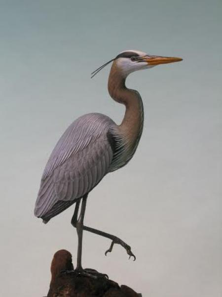 Great Blue Heron, carved tupelo with oils,   SOLD